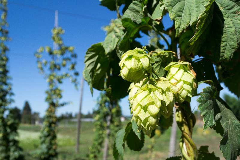 hops-ingredient-of-beer